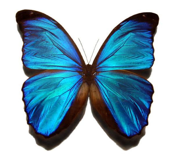 Farfalla della specie Blue Morpho