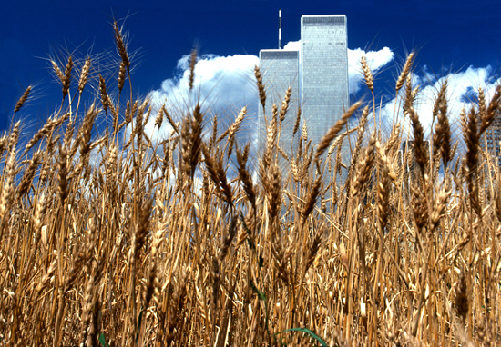 Wheatfield - A Confrontation, 1982, Battery Park Landfill, New York City. Copyright Agnes Denes. Courtesy Leslie Tonkonow Artworks + Projects, New York